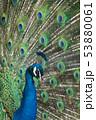 羽を広げたクジャクのクローズアップ 53880061