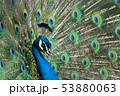 羽を広げたクジャクのクローズアップ 53880063