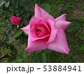 薔薇の花 rose 写真 53884941