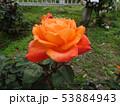 薔薇の花 rose 写真 53884943
