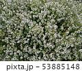 タイムの花 Thyme flower 写真 53885148