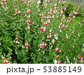 セージの花 Sage flower 写真 53885149