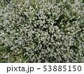 タイムの花 Thyme flower 写真 53885150