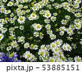 カモミールの花 chamomile 写真 53885151