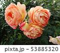 薔薇の花 rose 写真 53885320