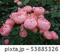 薔薇の花 rose 写真 53885326