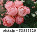 薔薇の花 rose 写真 53885329