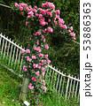薔薇の花 rose 写真 53886363