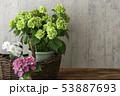 山紫陽花 ヤマアジサイ 53887693