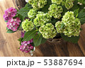 山紫陽花 ヤマアジサイ 53887694