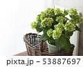 山紫陽花 ヤマアジサイ 53887697