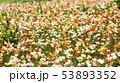 アイスランドポピー ポピー 花の写真 53893352