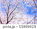 桜 ソメイヨシノ 春の写真 53899429