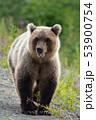 Terrible wild Kamchatka brown bear walking 53900754