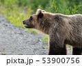 Wild hungry and terrible Kamchatka brown bear 53900756
