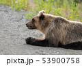 Wild hungry and terrible Kamchatka brown bear lies 53900758
