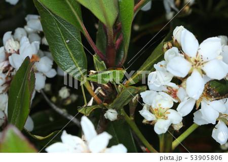 ヤブキリの幼虫、樹上の昆虫 53905806