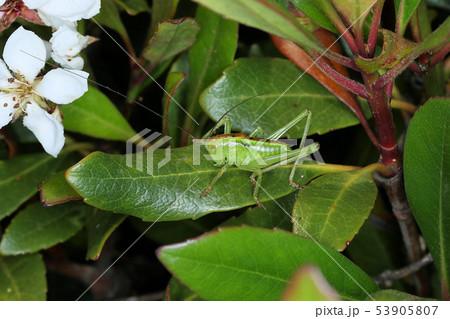 ヤブキリの幼虫、樹上の昆虫 53905807