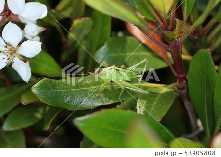 ヤブキリの幼虫、樹上の昆虫 53905808