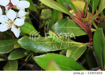 ヤブキリの幼虫、樹上の昆虫 53905809