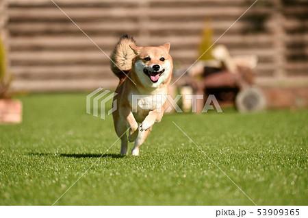 柴犬 53909365