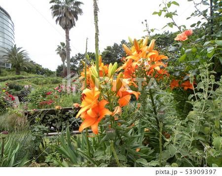オレンジ色の上向きのユリはスアカシユリ 53909397