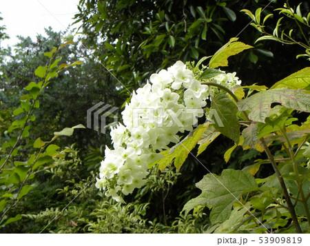 葉っぱが柏の葉に似ているカシワバアジサイの白い花 53909819