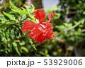 変わり咲きの赤いハイビスカス 53929006