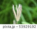 シマヒゲシバ 53929192