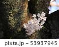 幹から咲く桜 53937945