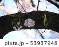 幹から咲くさくら 53937948