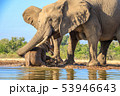 アフリカゾウ 53946643