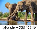 アフリカゾウ 53946649