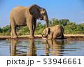 アフリカゾウ 53946661