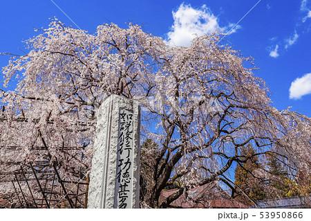 【山梨県】実相寺・身延山久遠寺由来のしだれ桜 53950866