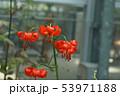 イトハユリ 53971188