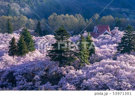 高遠城址公園の桜 長野県伊那市 53971301