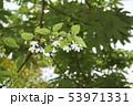ライティア・レリギオサ 53971331