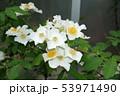 ロサ・モスカータ 53971490