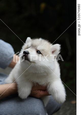 シベリアンハスキーの子犬 53974980