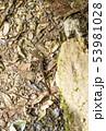 奄美大島 イボイモリ 金作原原生林 絶滅危惧種 原始の森  53981028