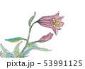 ヒメサユリ 53991125