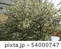 エゴノキの花 54000747