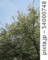 エゴノキの花 54000748