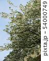エゴノキの花 54000749