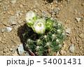 サボテン・海王丸 54001431