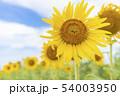 ひまわり畑 54003950