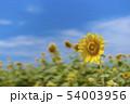 ひまわり畑 54003956