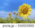 ひまわり畑 54003960