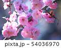 満開の平岡梅林公園 54036970